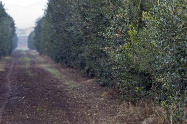oliveres suñer