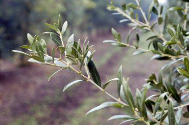 fulla olivera suñer