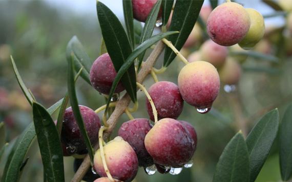 Olis de Catalunya | Celler i molí familiar especialitzat en l'agricultura ecològica a la Ribera d'Ebre a Tarragona amb una producció d'olis Arbequina, Empeltre i Fulla de Salz - Oli certificat pel Consell Català de Producció Agrària Ecològica (CCPAE)