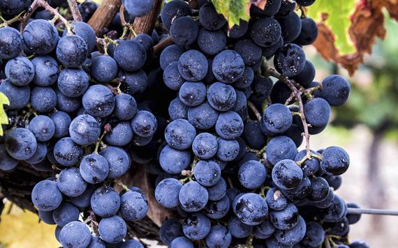 Vins i Olis Suñer - Vins amb denominació d'origen DO Tarragona - varietat Merlot provinent de l'Agricultura Ecològica - Certificats pel Consell Català de producció Agrària Ecològica (CCPAE) -Treballem amb les varietats Merlot i Macabeu