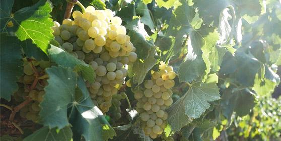 Vinos y Aceites Suñer - Vinos y Aceites de Cataluña | Bodega familiar en la Ribera de Ebro con Vinos con denominación de origen DO Tarragona de variedad Macabeo